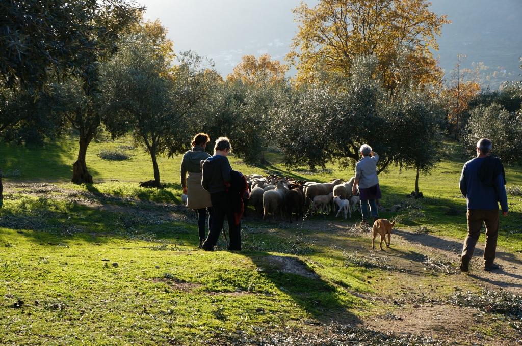 olijven-plukken_coaching_schapen